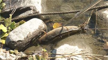 寒流除害! 熱帶入侵魚種紛凍死 泰國鱧與琵琶鼠 集體翻肚浮起