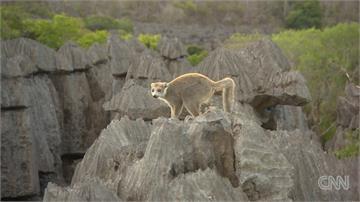 全球/馬達加斯加「世遺雨林」 特有種狐猴瀕臨絕種