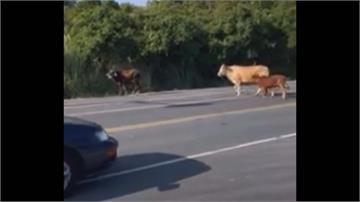 台東母牛帶小牛逛大街 恐撞車輛! 飼主最高可罰6萬