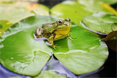 中國男聽信吃野味能強身!一口氣「生吞5隻青蛙」結局超慘