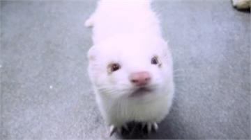 雪貂成人類救星?武肺疫苗動物實驗初見成效