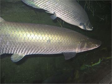 網紅矇眼「以嘴餵魚」 1秒後被「巨骨舌魚」拉入水族箱內
