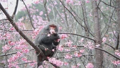獼猴狂吃櫻花 阿里山大島櫻慘遭毒手