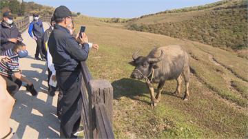 關心擎天崗牛隻 游錫堃憶兒時養水牛哽咽!過來人「水牛伯」  建議讓牛隻下山避冬