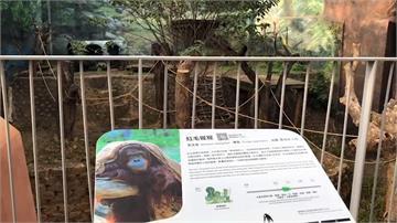 難過!新竹動物園30歲紅毛猩猩 睡夢中重摔不治身亡