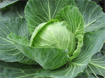 高麗菜1顆破百元 8月豪雨蔬菜批發價再創今年新高