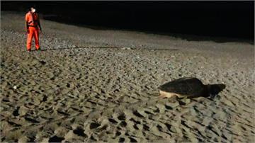 蘭嶼喜見綠蠵龜上岸產卵延續生命!海巡全程暖心守護