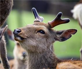 快新聞/鹿瘦如材!奈良鹿盼不到遊客餵餅 瘦成「排骨鹿」