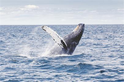 貨輪船頭「掛鯨屍」入港驚悚照曝!漁民嚇傻:捕魚10年第一次遇到
