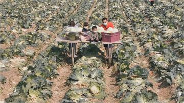 農民開放自採高麗菜「每顆10元」划算!民眾樂當一日農夫
