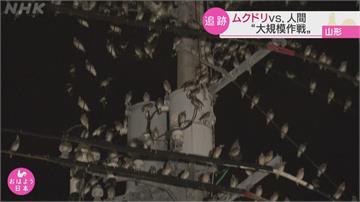 心裡發毛...「這種鳥」停滿電線 日本山形縣上演人鳥大戰
