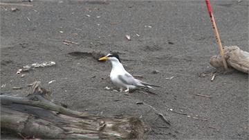 小燕鷗海灘下蛋沒鳥巢也無覆蓋 鳥友提醒遊客要當心