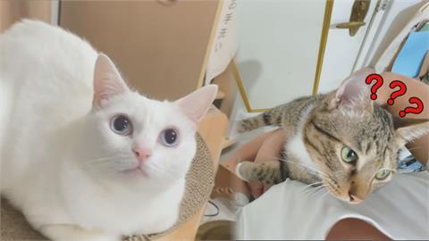 貓會伸腳代表聰明?他實測2喵星人 「呆萌」主子竟顛覆全網印象