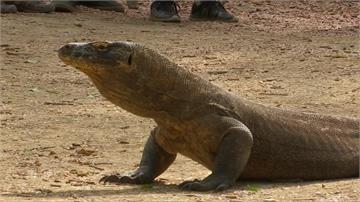 科摩多島關閉1年復育巨蜥 卻計畫建度假村