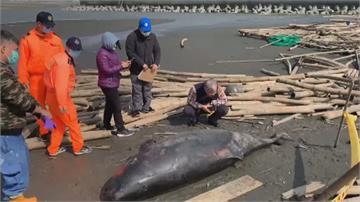 小抹香鯨嚴重脫水 命喪雲林箔子寮沙灘