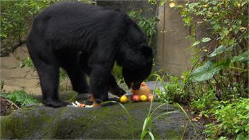 黑熊「黑糖」11歲生日!台北動物園準備蛋糕開生日趴