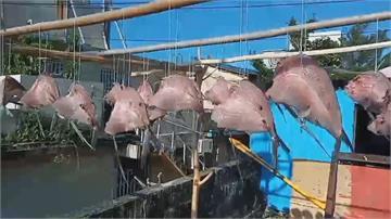 大翅鯨母子翻身果然吉兆...蘭嶼飛魚大豐收