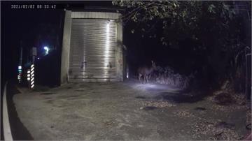 彰化139「神獸出沒」 水鹿過馬路和騎士對望