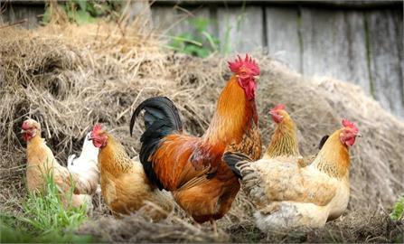 雞打生長激素長超快?雞腳囤積抗生素別吃?查核中心揭4大真相
