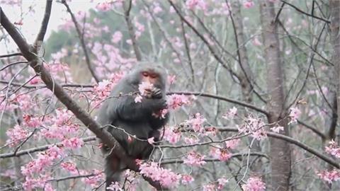 獼猴愛吃血藤花「外型酷似葡萄」專家:獼猴吃花很正常