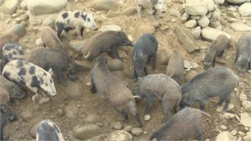 這裡的豬與世無爭!曾文水庫山豬島爆紅 百餘隻山豬優遊 年吸引五萬遊客