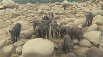 曾文水庫祕境 聽杜蘭朵接客的氣質山豬