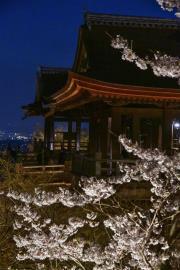 氣候變遷讓京都櫻花提早滿開 刷新1200年來紀錄