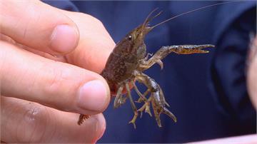 外來種螯蝦 會攻擊螢火蟲幼蟲大安森林公園 生態危機!