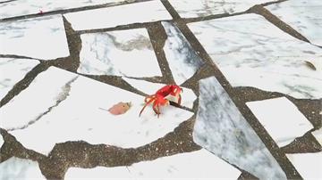 煮熟的螃蟹會走路?「中型仿相手蟹」死了才變黑
