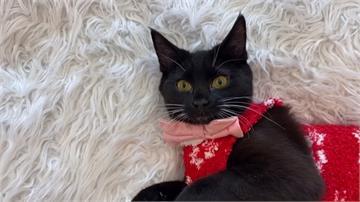 貓咪咖啡廳推特別活動!小貓套上耶誕毛衣萌度爆表