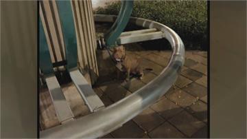 比特犬失控記錄又一樁! 花博公園內咬死貴賓犬