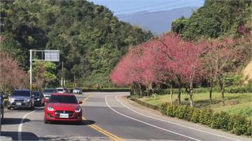 賞花免下車!宜蘭「最美櫻花公路」2 萬棵緋寒櫻、吉野櫻綿延綻放
