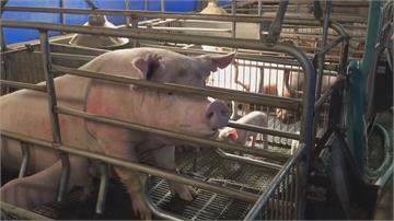 美國豬肉明年正式進口 屏東豬農有信心「樂觀看待」