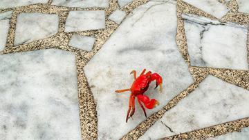 快新聞/火紅陸蟹「橫行」萬里大鵬國小 師生驚呼「煮熟的螃蟹在動!」