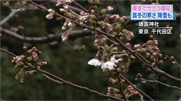 觀測史上最早開花記錄!日本宣告櫻花季登場