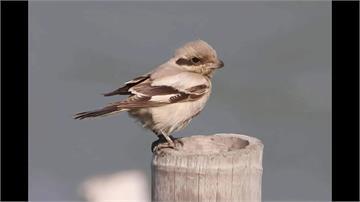 驚喜!「草原灰伯勞」首度現身台灣 鳥友驅車南下搶拍珍貴影像