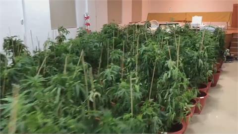 鄰戶飄異味! 警跟監2個月 破室內最大大麻工廠