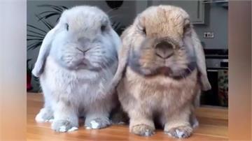 神同步!可愛兔子比賽吃東西吐舌頭