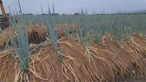 颱風來沒得採收 三星蔥蟲害產量減少大崩盤