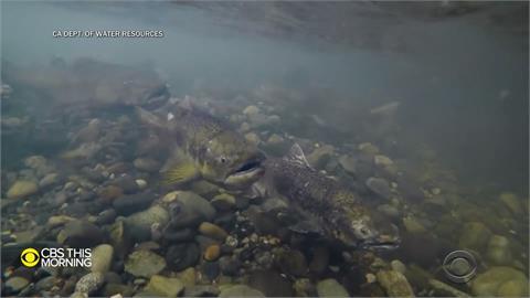 全球/美國迎來百年大旱 野生鮭魚面臨「暖水」危機