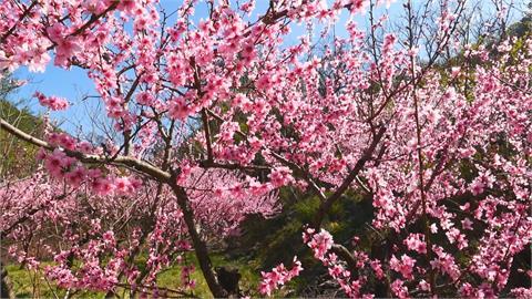 武陵農場桃花盛開夢幻絕美  品種多花期延續到4月中旬