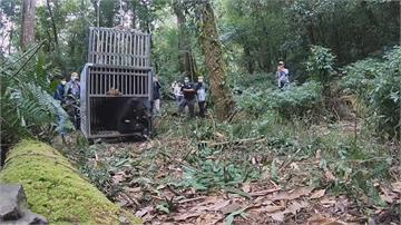 誤觸陷阱!台灣黑熊康復 野放重回森林