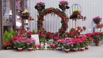 耶誕紅買氣現 台北花市估12月中旬最旺