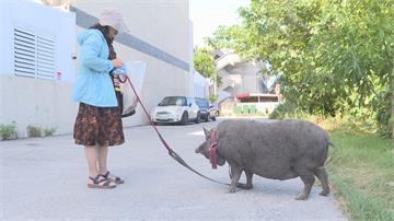 東大教師宿舍變「豬舍」? 系主任寵物豬打呼聲大、氣味難聞惹爭議