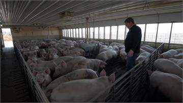沒人殺豬送豬!美國農場「豬滿為患」考慮安樂死