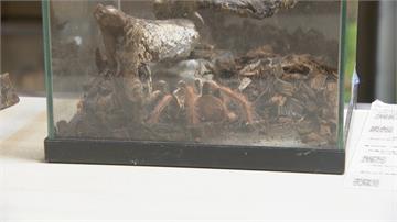 法男在美被「毒蜘蛛咬傷」採檢確診指揮中心:應在美國就醫感染機率大