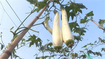 水電工變身種植達人 培育特殊「削皮絲瓜」