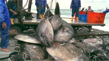 10年來最大隻!台東抓到280公斤曼波魚