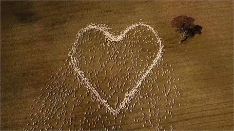 另類致哀!澳農用數千羊群畫出巨大愛心 獻逝去親人「暖羊羊的愛」