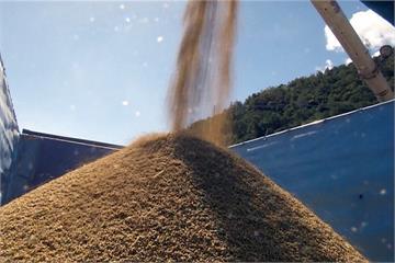 試驗成功!土壤加益生菌 關山稻米大豐收